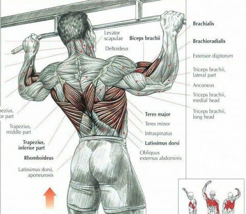 Chins - Muskler som tränas